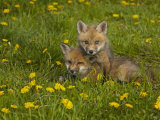 Red Fox Cubs Playing in a Field of Dandelions, Vulpes Vulpes, North America Photographic Print by Jack Michanowski