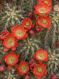 Claret Cup Cactus (Echinocereus Triglochidiatus) Blooming Photographic Print by Don Grall