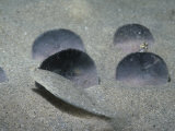 Sand Dollars on the Sandy Ocean Floor (Dendraster Excentricus), Eastern Pacific Ocean Photographic Print by Daniel Gotshall