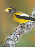 Male Evening Grosbeak (Coccothraustes Vespertinus). Eastern North America Photographic Print by Steve Maslowski