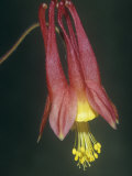 Columbine Flower, Aquilegia Canadensis, North America Photographic Print by Joe McDonald