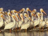 White Pelican Group, Pelecanus Erythrorhynchos, Florida, USA Photographic Print by Arthur Morris