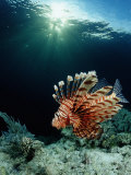 Lionfish or Turkeyfish (Pterois Volitans), Indonesia Photographic Print by Reinhard Dirscherl