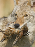 Coyote (Canis Latrans) with Bobwhite Quail Prey in its Mouth, North America Photographic Print by Steve Maslowski