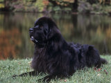 Newfoundland Variety of Domestic Dog Lmina fotogrfica por Cheryl Ertelt