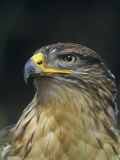 Ferruginous Hawk Head, Buteo Regalis, Southwestern USA Reproduction photographique par Joe & Mary Ann McDonald
