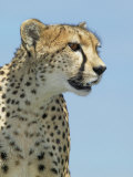 Cheetah, Acinonyx Jubatus, Face, on the Lookout for Prey, Masai Mara Game Reserve, Kenya, Africa Photographic Print by Joe McDonald