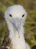 Great Frigatebird, Large Chick, North Seymour Island, Galapagos, Ecuador Photographie par Arthur Morris