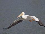 American White Pelican Flying (Pelecanus Erythrorhynchos), North America Photographie par Arthur Morris