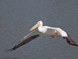 American White Pelican Flying (Pelecanus Erythrorhynchos), North America Photographic Print by Arthur Morris