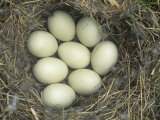Eight Mallard Eggs in the Nest, Anas Platyrhynchos, North America Fotografisk trykk av John Sohlden