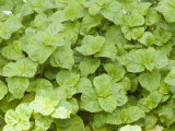 Apple Mint (Mentha Rotundifolia) Is a Herb and Is Often Used for Making Jelly or Tea Photographic Print