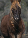 Chincoteague Pony Face, Assateague National Wildlife Refuge, Maryland, USA Photographic Print by Rob & Ann Simpson