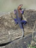Agama Lizard, Agama Agama, Masai Mara Game Reserve, Kenya Photographic Print by Adam Jones