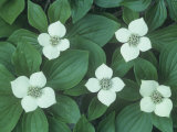 Bunchberry or Dwarf Dogwood Flowering on the Forest Floor, Cornus Canadensis, North America Photographic Print by John & Barbara Gerlach