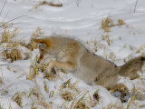Coyote (Canis Latrans) Hunting Mice in Snow Photographic Print by Tom Walker