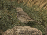 Sage Thrasher (Oreoscoptes Montanus) Perched on a Rock, Arizona, USA Photographic Print by Charles Melton