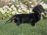Daschund, 4 Month Old, Standing in Garden Photographic Print by Cheryl Ertelt