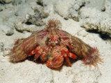 Anemone Hermit Crab (Dardanus Pedunculatus), Indonesia, Sulawesi, Indian Ocean Photographic Print by Reinhard Dirscherl