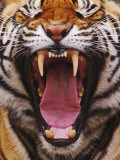 Bengal Tiger Face Showing Teeth and Tongue, Panthera Tigris, Asia Photographic Print by Adam Jones