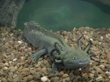 Mexican Axolotl, Ambystoma Mexicanum, a Neotenic Tiger Salamander Underwater, Mexico Photographic Print by Joe McDonald