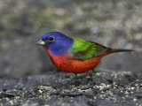 Painted Bunting Photographic Print by John Cornell