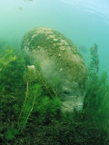 Eating West Indian Manatee, Trichechus Manatus Latirostris, Usa, Florida, Fl, Everglades Photographie par Reinhard Dirscherl