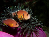 Skunk Anemonefishes (Amphiprion Sandaracinos) in a Sea Anemone, Indian Ocean, Andaman Sea Photographic Print by Reinhard Dirscherl