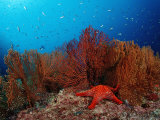 Red Starfish and Coral Reef, Asteroidea, Mexico, Sea of Cortez, Baja California, La Paz Photographie par Reinhard Dirscherl