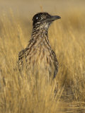Greater Roadrunner (Geococcyx Californianus), California, USA Photographic Print by Steve Maslowski