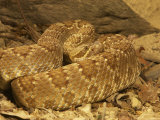 Mojave Rattlesnake, Crotalus Scutulatus Scutulatus Photographic Print by Jack Michanowski