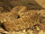 Mojave Rattlesnake, Crotalus Scutulatus Scutulatus Photographic Print by Jack Michanowski