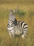 Burchell's or Common Zebra, Equus Burchellii, Masai Mara, Kenya, Africa Photographic Print by John & Barbara Gerlach
