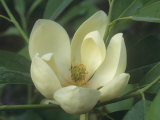 Sweetbay Magnolia Flower, Magnolia Virginiana, Eastern North America Photographic Print by David Sieren