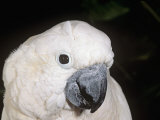 Umbrella or White-Crested Cockatoo Head, Cacatua Alba, Polynesia Photographic Print by Joe McDonald