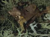 Male Satanic Leaf-Tailed Gecko, Uroplatus Phantasticus, Madagascar Photographic Print by Gerold & Cynthia Merker