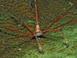 Spider Crab, Stenorhynchus Seticornus, British Virgin Islands, Bvi, Caribbean Sea, Leeward Islands Photographic Print by Reinhard Dirscherl
