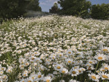 Field of Ox-Eye Daisies, Chrysanthemum Leucanthemum, North Carolina, USA Photographic Print by Adam Jones