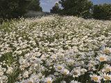 Field of Ox-Eye Daisies, Chrysanthemum Leucanthemum, North Carolina, USA Photographic Print by Adam Jones