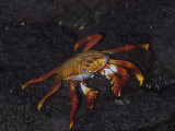 Sally Lightfoot Crab, Grapsus Grapsus, Punta Espinosa, Galapagos Islands Photographic Print by Gerald & Buff Corsi