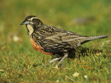 Long-Tailed Meadowlark, Sturnella Loyca Falklandica, Falkland Islands Photographic Print by Joe McDonald
