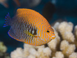 Potter's Angelfish (Centropyge Potteri) are Endemic to Hawaii, USA Photographic Print by David Fleetham