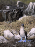 A Blue-Footed Booby (Sula Nebouxii), Galapagos Islands, Ecuador Reproduction photographique par John & Barbara Gerlach