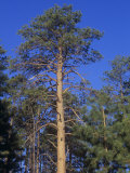 Ponderosa Pines (Pinus Ponderosa), Western North America Photographic Print by Ned Therrien