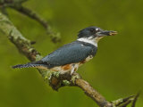 Female Belted Kingfisher with Prey in its Cavity (Ceryle Alcyon), Eastern USA Photographie par Adam Jones