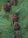 Tamarck or American Larch Seed Cones in the Spring, Larix Larcina, North America Photographic Print by Gary Meszaros