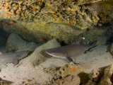 Whitetip Reef Sharks (Triaenodon Obesus) Resting in a Cavern, Hawaii, USA Photographic Print by David Fleetham