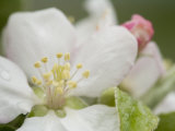 Apple Blossom Photographic Print