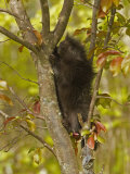 Common Porcupine in a Tree, Erethizon Dorsatum, North America Photographic Print by Jack Michanowski