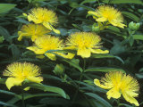 St. John's-Wort Flowers, Hypericum Perforatum, North America Photographic Print by Doug Sokell